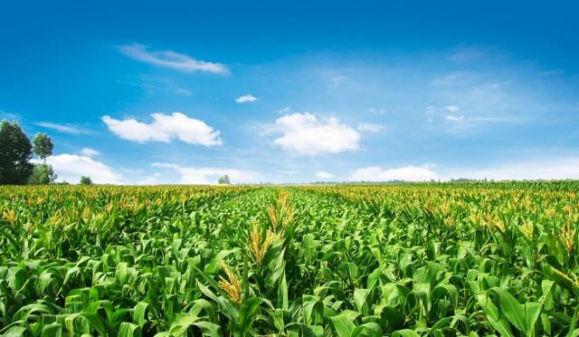 玉米地照片.jpg